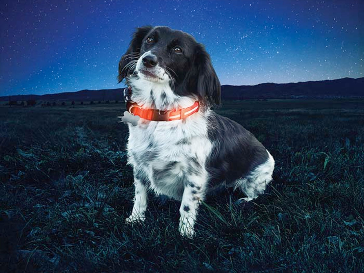 led review orange giveaway collar light poochlight up dog squeaker